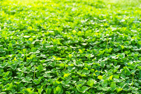 Field of green clover blanketing the ground in the spring Imagens
