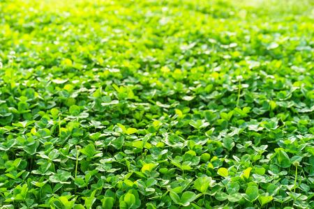 Il campo di trifoglio verde coprendo il terreno in primavera Archivio Fotografico - 56403092