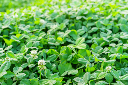 Field of green clover blanketing the ground in the spring with white flowers