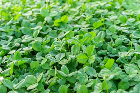 Il campo di trifoglio verde coprendo il terreno in primavera Archivio Fotografico - 56403100