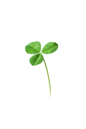 white clover: Isolated three leaf green clover on white background
