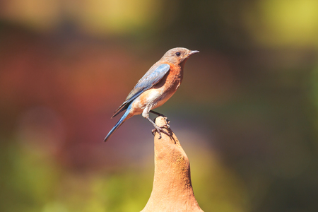 Eastern female Bluebird standing on perch with green bokeh background Imagens