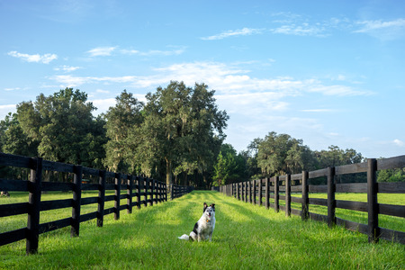 Border Collie Australian Shepherd dog mix breed sitting between two rural countryside fence lines pastures on green grass with a blue sky waiting watching working off leash Stock Photo