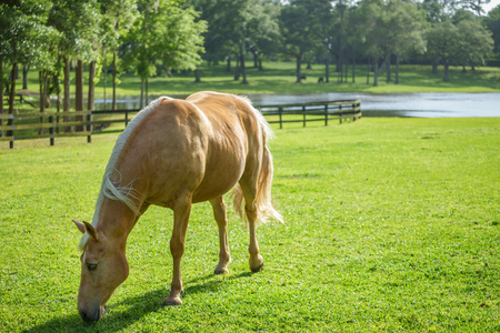 palomino: Palomino Tennessee Walker equine horse grazing eating in a sunny grassy field paddock pasture with lake and trees in background