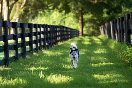 Australian Shepherd Border-Collie-Hundezucht-Mix laufen Arbeits entlang Weide Paddock Farm Ranch ländliche Landschaft Zaun im Gras keuchend