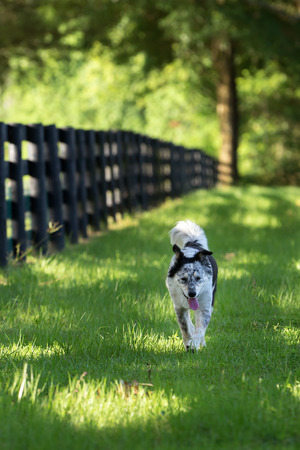 panting: Australian Shepherd Border Collie dog breed mix working running panting along pasture paddock farm ranch rural countryside fence in grass