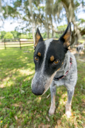 Australian Cattle Dog or Blue Heeler dog close up outside in yard or natural setting and looking happy curious interested alert ready listening