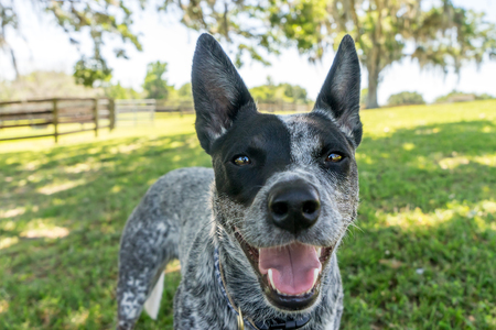 panting: Australian Cattle Dog or Blue Heeler dog close up outside in yard or natural setting panting and looking happy curious interested alert ready