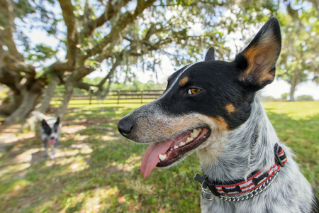 Australian Cattle Dog or Blue Heeler dog close up outside in yard or natural setting panting and looking happy curious interested alert ready mischievous smart