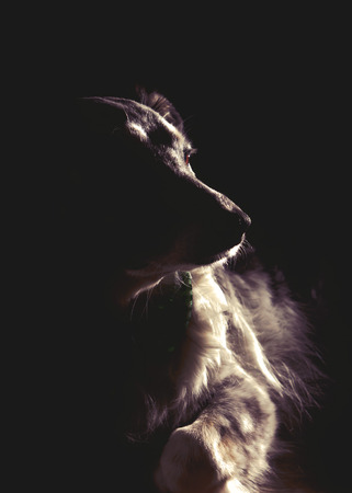 Dramatic portrait of a Border Collie, Australian Shepherd mix breed dog lying down in darkness looking serious, sad, mysterious, alone, wise