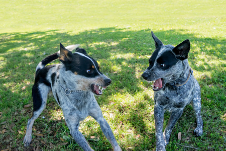 standoff: Two Australian Cattle Dogs or Blue Heelers snarling growling warning showing aggression toward each other and about to fight or play in a grassy field or natural outside yard Stock Photo