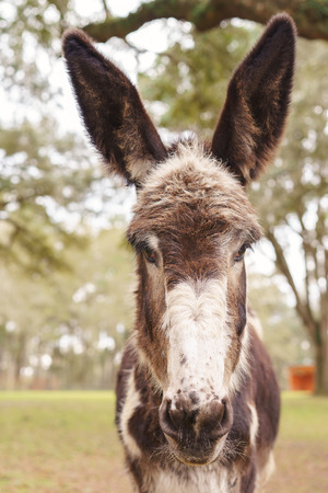 ears donkey: Donkey standing facing camera listening paying attention ears forward in field pasture paddock Stock Photo
