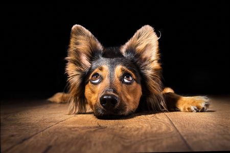 Black and brown mix breed dog or canine lying down on wooden floor isolated on black background looking up with big eyes and perky ears while curious interested adorable cute watching patient wanting hungry focused begging wishing hoping