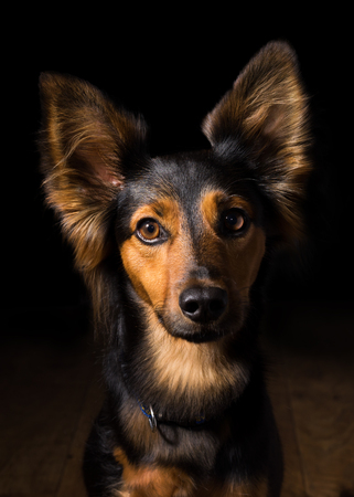 breed: Black and brown mix breed dog or canine with perky ears and big brown eyes sitting on wooden floor in dark dramatic room isolated looking froward watching waiting listening paying attention friendly patient obedient alone lonely sad quiet