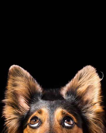 Nahaufnahme von Schwarz und braun Mix Rasse Hund oder Hunde-Gesicht mit großen Augen und frechen Ohren suchen, während neugierig interessiert entzückende nette Patienten beobachten wollen hungrig konzentriert betteln wollen, der Hoffnung