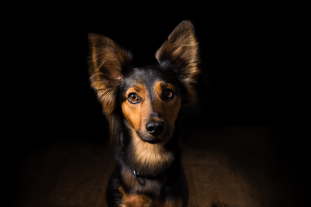 Black and brown mix breed dog or canine with perky ears and big brown eyes sitting on wooden floor in dark dramatic room isolated looking froward watching waiting listening paying attention friendly patient obedient alone lonely sad quiet