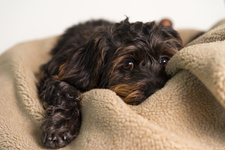 Small Black Shih Tzu mix breed dog canine lying down on soft blanket bed while uncertain alone sick bored lonely depressed ill tired exhausted worn out Stock Photo
