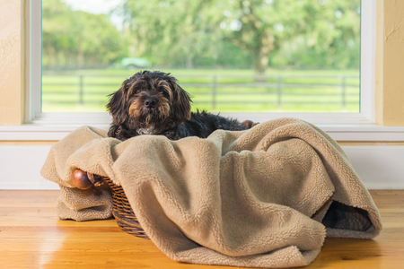 Small Black Shih Tzu mix breed dog canine lying down on dog bed basket blanket in front of window while curious patient waiting watching sad cute adorable uncertain alone sick bored lonely comfortable at home