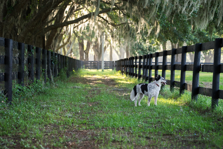 fenceline: Australian Shepherd Border Collie mix breed dog or canine standing on farm by fence waiting watching working panting in countryside