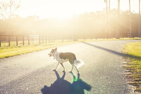 Border Collie / Australian Shepherd dog canine pet crossing road street alone in sunshine countryside rural setting looking adventurous lost hazardous dangerous precarious Foto de archivo