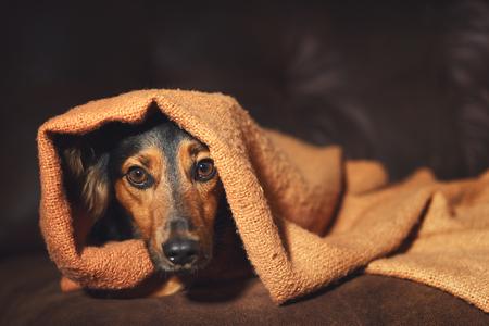Pequeño perro negro y marrón que ocultan bajo la manta anaranjada en el sofá que parece asustado preocupado alarma asustado asustado ancho-eyed incierto ansioso incómodo apenado nervioso tiempo