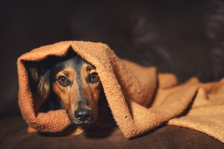 Small black and brown dog hiding under orange blanket on couch looking scared worried alert frightened afraid wide-eyed uncertain anxious uneasy distressed nervous tense Stock Photo