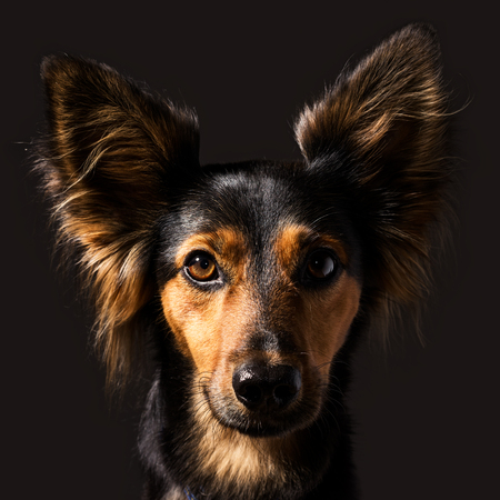 Closeup high contrast classic studio dog portrait with side lighting of a black and brown mixed breed canine with upright ears alert expression and long fur making eye contact, front view