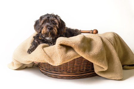 Small Black Shih Tzu mix breed dog canine lying down on dog bed basket blanket isolated on white while curious patient waiting watching sad cute adorable uncertain alone sick bored lonely comfortable at home warm Imagens