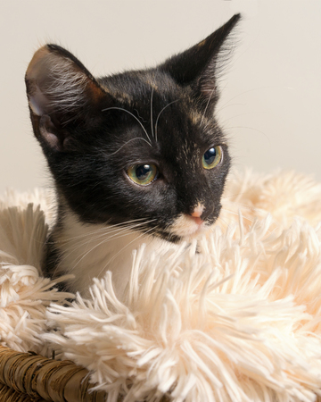Young domestic shorthair calico kitten cat lying down in soft white blanket isolated