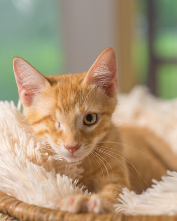 Young yellow domestic shorthair cat kitten lying down on soft blanket looking up with one eye looking pampered relaxed friendly at home