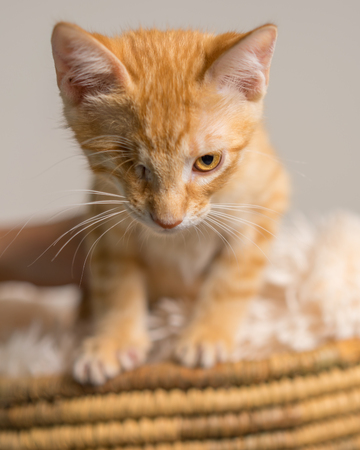 Young yellow domestic shorthair cat kitten with one eye in basket looking determined ready Stockfoto