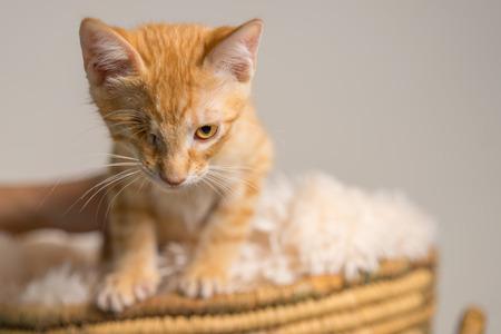 Junge gelb inländischen shorthair Katze Kätzchen mit einem Auge im Korb suchen bestimmt bereit