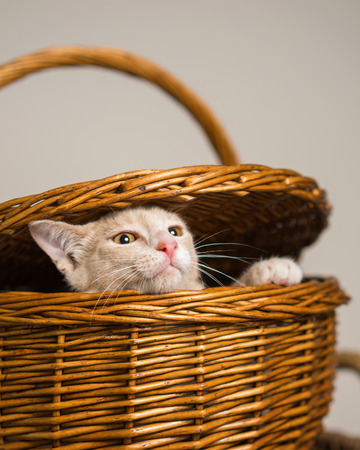 Young yellow tan cat kitten feline escaping from or peeping out of a wicker picnic basket Stock Photo
