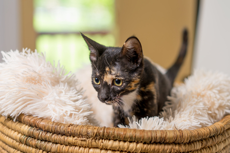 Young domestic shorthair calico kitten cat feline in basket with soft white blanket Stock Photo