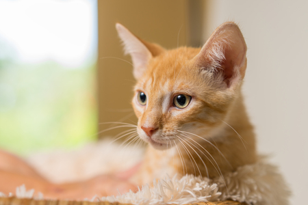 Junge gelb inländischen shorthair Kätzchen Katze mit gelben Augen liegend in weichen weißen Decke isoliert Lizenzfreie Bilder