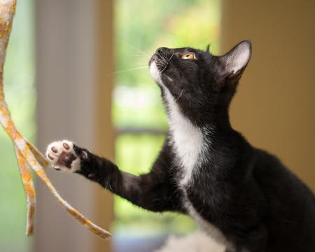 Junge schwarze und weiße häusliche kurze mittlere Haare Kätzchen Katze Katze mit gelben Augen spielen mit Pfote aus bereit und neugierig