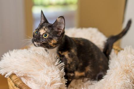 Junge häusliche Kurzhaarkatze Kätzchen Katze Katze im Korb mit weichen weißen Decke nachschlagen Lizenzfreie Bilder