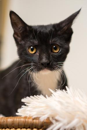 Junge schwarze und weiße häusliche kurze mittlere Haare Kätzchen Katze Katze mit gelben Augen machen Blickkontakt und suchen traurig alleine Angst besorgt unsicher Lizenzfreie Bilder