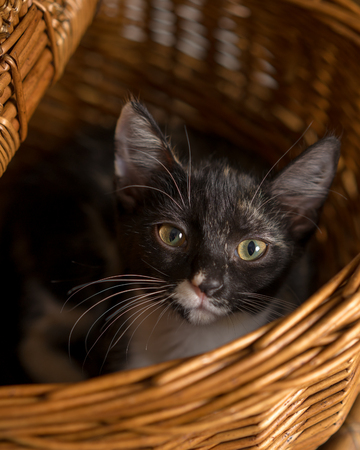Young domestic short hair calico cat kitten feline making eye contact while lying in a wicker picnic basket Stockfoto