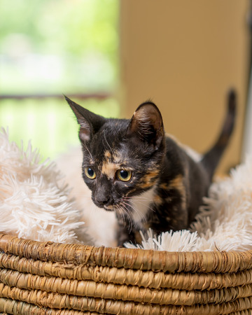 Young domestic shorthair calico kitten cat feline in basket with soft white blanket Stockfoto
