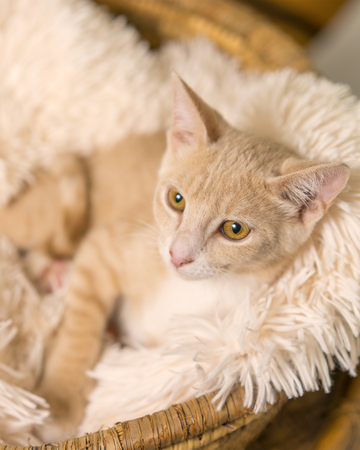 Young yellow tan cat kitten feline lying down in basket with white soft blanket looking pampered relaxed spoiled happy at home Stockfoto