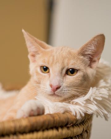Junge gelb tan inländischen kurzen haaren Katze Kätzchen Katze liegend im Korb mit weißen weichen Decke suchen verwöhnt entspannt verwöhnt mit Haltung Lizenzfreie Bilder