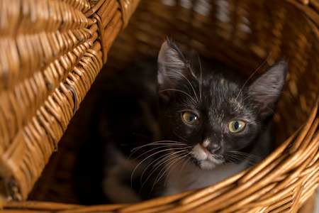 Young domestic short hair calico cat kitten feline making eye contact while lying in a wicker picnic basket Banco de Imagens