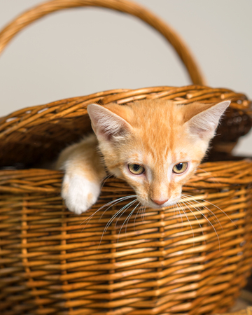 Junge gelb inländischen shorthair Katze Kätzchen Katze kommen aus einem Wicker Picknick Korb isoliert