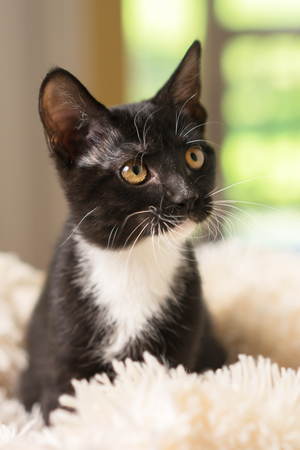Young black and white domestic short medium hair kitten cat feline with yellow eyes sitting on white blanket looking waiting watching staring focused