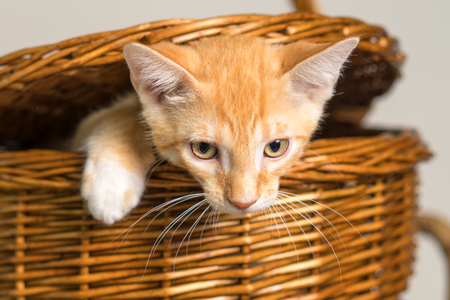Young yellow domestic shorthair cat kitten feline coming out of a wicker picnic basket isolated