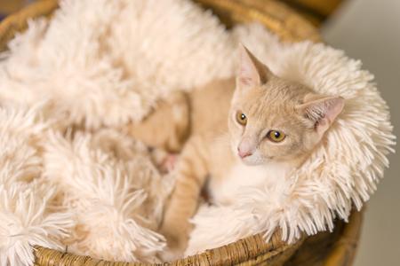 Junge gelb tan Katze Kätzchen Katze liegend im Korb mit weißen weichen Decke suchen verwöhnt entspannt verwöhnt glücklich zu Hause