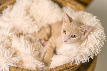 Young yellow tan cat kitten feline lying down in basket with white soft blanket looking pampered relaxed spoiled happy at home Banco de Imagens