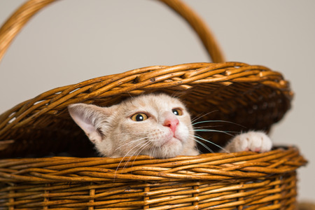 Young yellow tan cat kitten feline escaping from or peeping out of a wicker picnic basket Stockfoto