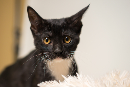 Young black and white domestic short medium hair kitten cat feline with yellow eyes making eye contact and looking sad alone afraid worried uncertain Standard-Bild